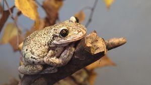 Превью обои жаба, рептилия, ветка, осень