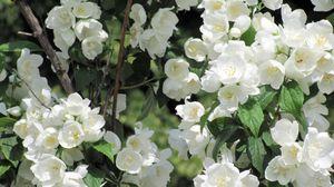 Превью обои жасмин, цветение, ветки, белоснежный, листья
