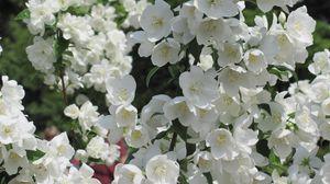 Превью обои жасмин, цветение, ветки, весна