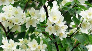 Превью обои жасмин, цветение, ветки, весна, зелень