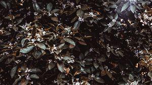 Превью обои жасмин, куст, листья, цветы, растение