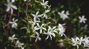 Превью обои жасмин, цветок, цветы, цветение, куст, растение