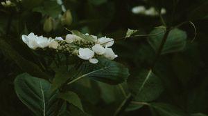 Превью обои жасмин, цветы, цветение, куст, растение