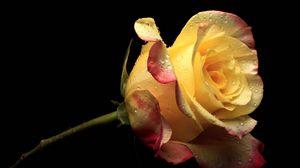 Превью обои желтый, цветок, цветы, лепестки, роза, розовый