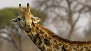 Превью обои жираф, голова, пятнистый, птицы