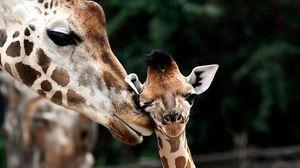Превью обои жираф, морда, детеныш, пятнистый