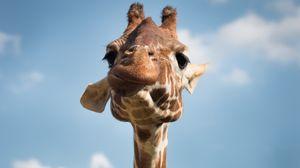 Превью обои жираф, морда, прикольный, забавный, смешной