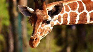 Превью обои жираф, морда, пятнистый