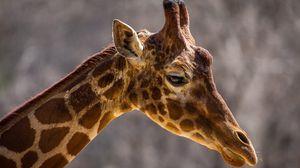 Превью обои жираф, морда, шея, профиль, пятна