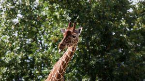 Превью обои жираф, прикольный, высунутый язык