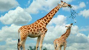 Превью обои жираф, природа, еда, прогулка