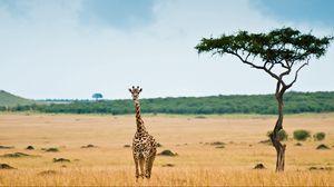Превью обои жираф, саванна, пустыня, дерево
