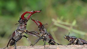 Превью обои жуки, жук-олень, борьба, схватка, битва