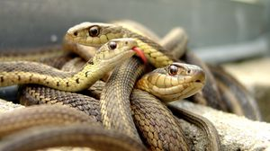 Превью обои змеи, множество, пресмыкающееся