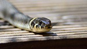 Превью обои змея, язык, пресмыкающееся