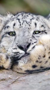 Превью обои снежный барс, большая кошка, ирбис