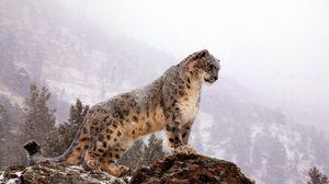 Превью обои снежный барс, вершина, большая кошка, хищник