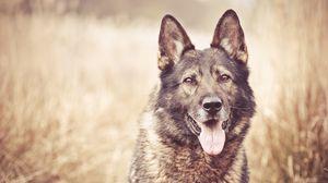 Превью обои собака, морда, трава, размытость