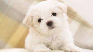 Превью обои собака, щенок, белый, малыш