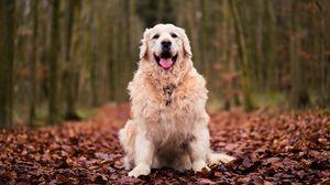 Превью обои собака, сидит, осень, листва