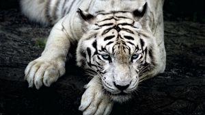 Превью обои тигр, альбинос, лежать, морда