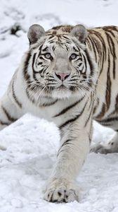 Превью обои тигр, альбинос, снег, зима