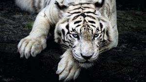 Превью обои тигр, белый тигр, хищник, взгляд, лапа