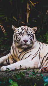 Превью обои тигр, лежит, белый, хищник
