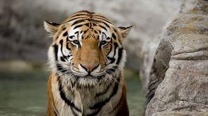 Превью обои тигр, морда, камень, большая кошка