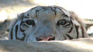 Превью обои тигр, морда, камень, взгляд, хищник