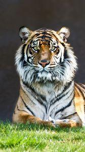 Превью обои тигр, трава, лежать, хищник