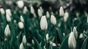 Превью обои тюльпаны, цветы, белые, клумба, цветет, весна