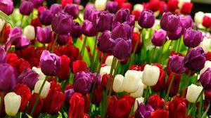 Превью обои тюльпаны, цветы, растения, разноцветный