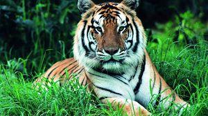 Превью обои трава, зелень, морда, тигр, стебли