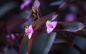 Превью обои цветок, фиолетовый, крупным планом, растение, макро
