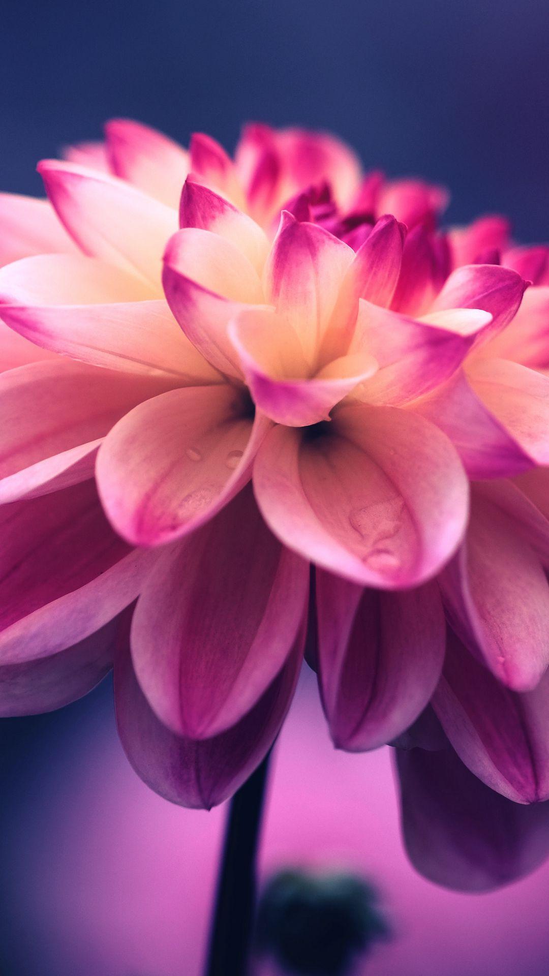 1080x1920 Обои цветок, розовый, лепестки, бутон, крупным планом