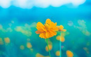 Превью обои цветок, желтый, нежный, цветет, лепестки, пестик, стебель
