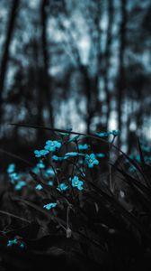Превью обои цветы, голубой, полевой, размытость