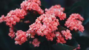 Превью обои цветы, розовый, цветение, куст, дикий цветок