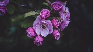 Превью обои цветы, розовый, весна, цветение