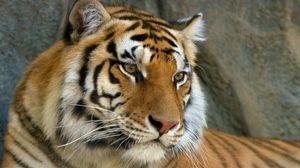 Превью обои усы, морда, тигр, глаза, хищник