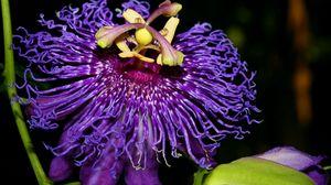 Превью обои вдохновение, страсть, цветок, фиолетовый