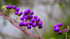 Превью обои ветка, природа, ягоды, фиолетовые, калликарпа