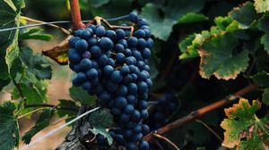 Превью обои виноград, ягоды, гроздь, лоза