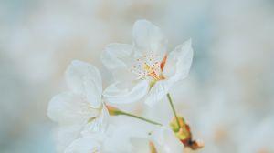 Превью обои вишня, цветы, белый, макро