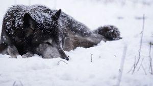 Превью обои волк, снег, метель, холод, греться, чб