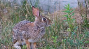 Превью обои заяц, животное, серый, трава
