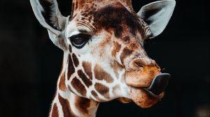 Превью обои жираф, высунутый язык, забавный, животное
